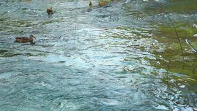 Male Ferruginous duck swimming in river. Panoramic shot of waterfall on Krka river-Croatia stock video footage
