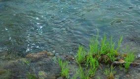Male Ferruginous duck swimming in river. Panoramic shot of waterfall on Krka river-Croatia stock footage
