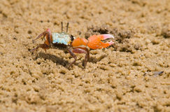 Male Fiddler Crab Stock Images