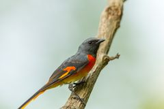 Male Fiery Minivet(Pericrocotus igneus). On the tree in nature Stock Photography