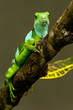 Male Fiji banded iguana & x28;Brachylophus fasciatus& x29; on Viti Levu Is stock images