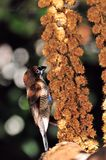 Male finch bird Stock Images