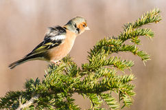 Male finch. Enjoying the wind royalty free stock photography