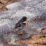 Male finch   Fringilla montifringilla Royalty Free Stock Photos