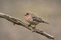 Male Finch on tree branch Stock Photos