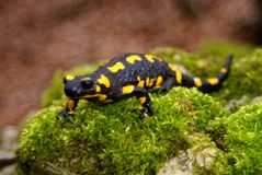 Adult male fire salamander in portrait Stock Photos