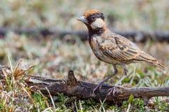 Male Fischer's Sparrow-Lark - Eremopterix leucopareia stock photos
