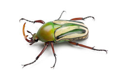 Male Flamboyant Flower Beetle Stock Image