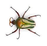 Male Flamboyant Flower Beetle. Or Striped Love Beetle, Eudicella gralli hubini, against white background Stock Photo