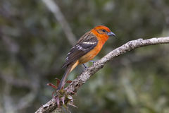 Male Flame-colored Tanager. Perched on a branch Stock Images