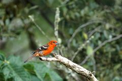 Male flame-colored Tanager stripe-backed tanager portrait in natural environment.  stock images