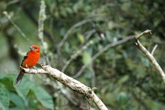 Male flame-colored Tanager stripe-backed tanager portrait in natural environment.  stock photos