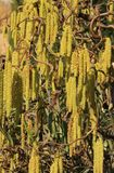 Male flower catkins of hazel Royalty Free Stock Photography
