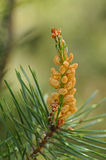 Male flower of mountain pine Stock Photos