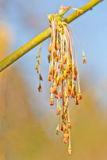 Male flowers of Acer Negundo Stock Photos