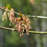 Male flowers on branch ash-leaved maple, Acer negundo, macro with bokeh background, selective focus, shallow DOF.  Stock Image
