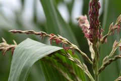 Male Flowers of Maize Royalty Free Stock Photos