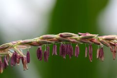 Male Flowers Of Maize Stock Photos