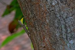Male Flying Lizard Royalty Free Stock Photos