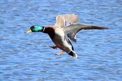 Male Flying Mallard. A male mallard duck drake flying in to land on a lake Royalty Free Stock Image