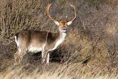 Male Follow deer. Male Follow deer in between the branches Stock Photography
