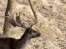 Male Follow Deer head. Male Follow Deer head with antlers Stock Images