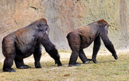 Male Following Female Lowland Gorilla Royalty Free Stock Photos
