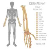 Male forearm bones anatomy. Male forearm bone anatomy. Anterior view  with primary bones names. Vector illustration with human skeleton scheme isolated on a Royalty Free Stock Photography