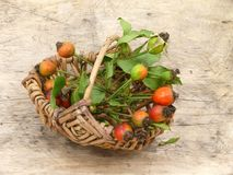 Rose hips. A male in the forest, rose hips in basket Stock Images