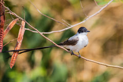 Male Fork-tailed Flycatcher Royalty Free Stock Images