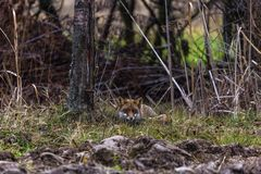 A Male fox Royalty Free Stock Images