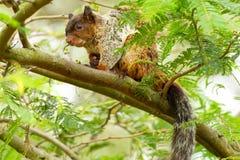 Male Fox Squirrel. In Natural Habitat Ecuadorian Rainforest Royalty Free Stock Image