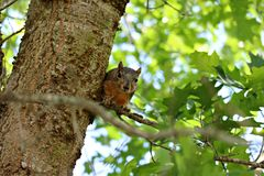A male fox squirrel peeking around a limb in a large oak tree. royalty free stock photos