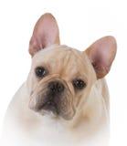 Male french bulldog Stock Photo
