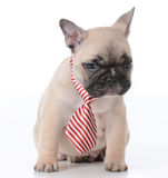 Male french bulldog puppy Royalty Free Stock Images