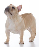 Male french bulldog Royalty Free Stock Photography