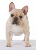 Male french bulldog Royalty Free Stock Photos