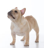 male french bulldog Royalty Free Stock Images