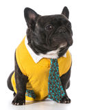 Male french bulldog Royalty Free Stock Photos