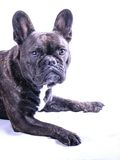Male French Bulldog on White Stock Photography