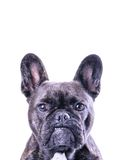 Male French Bulldog on White Royalty Free Stock Photography