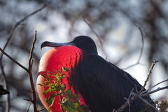 Male Frigate Bird. A male frigate bird on the galapagos islands Stock Photography