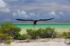 Male great frigatebird is building a nest Stock Images