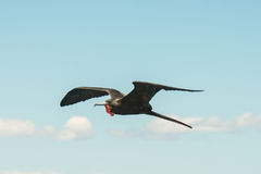 A Male Frigate Bird in Flight stock photography