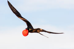 A male Frigate bird in full breeding plumage in flight Royalty Free Stock Photo