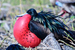 Male Frigate bird in full breeding plumage Stock Images