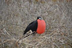 Male Frigate Bird from Galapagos Royalty Free Stock Photo