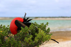 Male Great Frigate Bird is looking for a female. Stock Photo