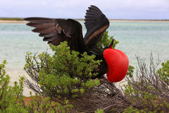 Male great frigatebird during mating dancing ritual Stock Photos