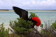 Male Great Frigate Bird during mating dancing ritual. Stock Images